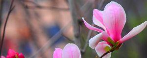 玉兰花的寓意和传说