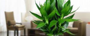 莲花竹有什么作用