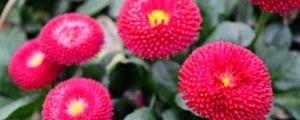 盆栽翠菊的四季养护方法