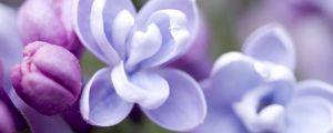 丁香的花语和传说是什么