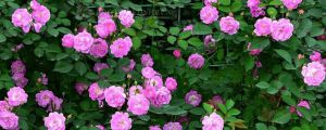 蔷薇花什么时候开花