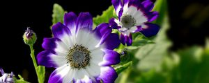瓜叶菊的播种方法