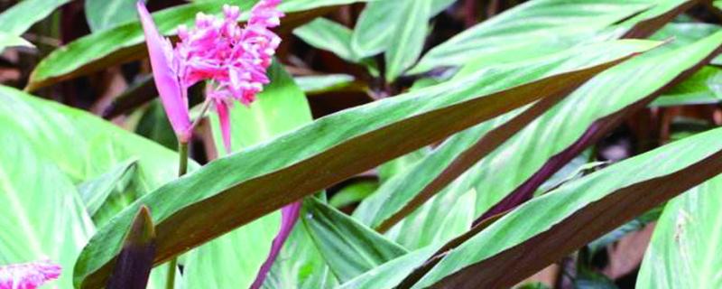 紫背竹芋叶子发黄怎么办