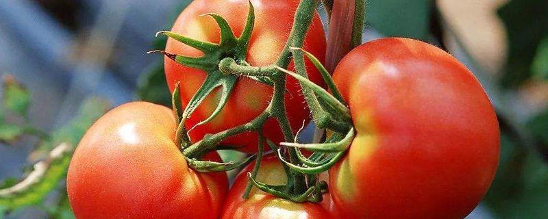 阳台西红柿的种植步骤