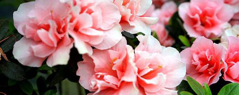 西洋杜鹃什么时候开花