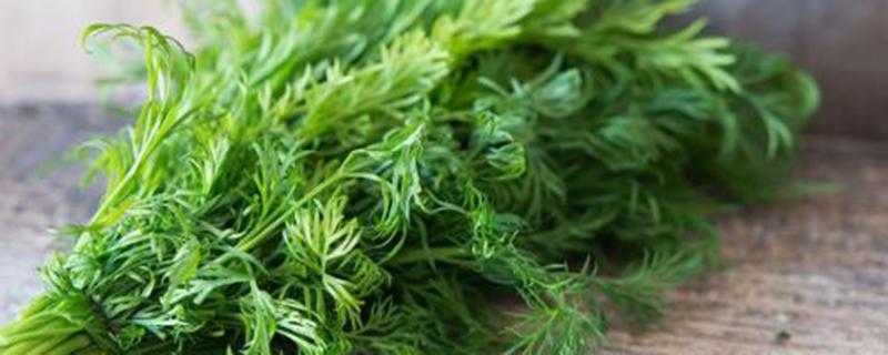 阳台茴香的种植方法