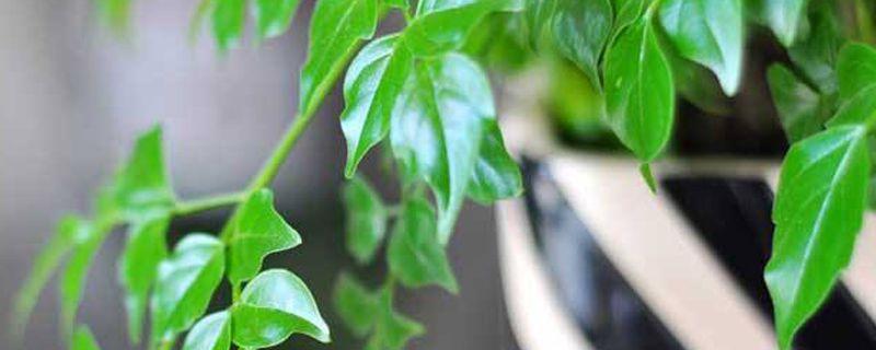 平安树与元宝树的区别