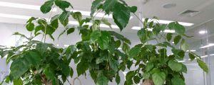幸福树的繁殖方法