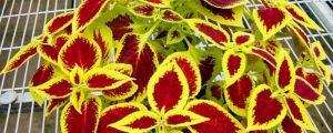 彩叶草品种有哪些