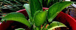 落地生根的养殖方法和注意事项