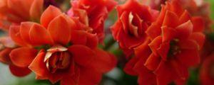 怎么让长寿花多开花