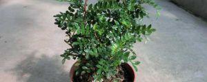 清香木和胡椒木的区别