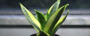 虎皮兰养殖方法和注意事项