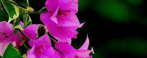 三角梅为什么不开花