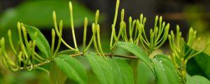 金银花怎么盆栽养护