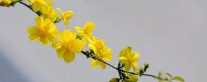 迎春花的主要品种