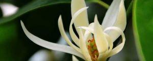 白兰花的养殖方法和注意事项