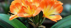 君子兰的催花方法