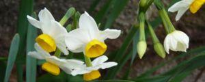 水培水仙花的养殖方法