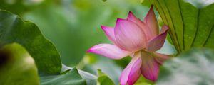 荷花与莲花的区别
