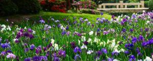 花菖蒲养殖方法及注意事项