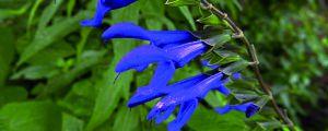 蓝雀花的养殖方法