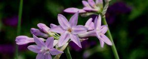 紫娇花的养殖方法和注意事项