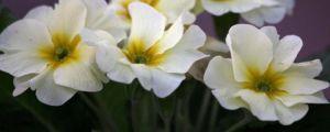 报春花的养殖方法和注意事项