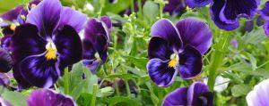 蝴蝶花的病虫害防治方法