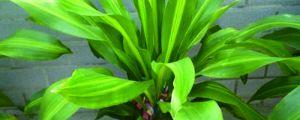 香龙血树几年开花