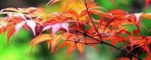 日本红枫怎么养护
