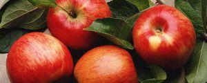 苹果树剪枝最佳时间