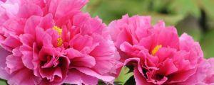 牡丹花几月份开花