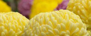菊花的花语大全