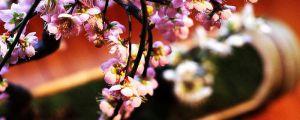 盆栽梅花的种植方法和注意事项