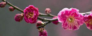 梅花的花语和象征意义