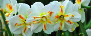 洋水仙第二年能开花吗