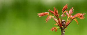 香椿种子怎么种植