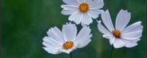 波斯菊什么时候开花