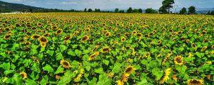 盆栽向日葵的养护方法