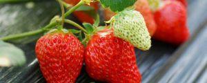 阳台草莓的种植方法