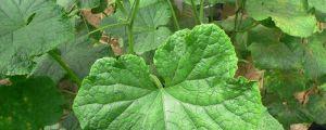 阳台黄瓜的种植方法