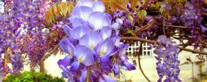 紫藤为什么不开花