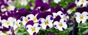 三色堇的花语