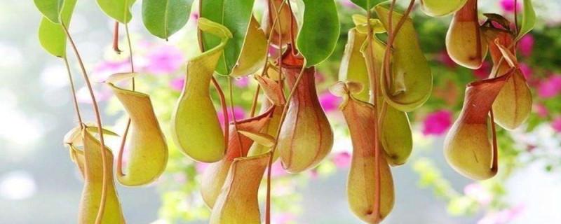 猪笼草怎么传播种子,种子长在哪里