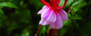 灯笼花的养殖方法和注意事项