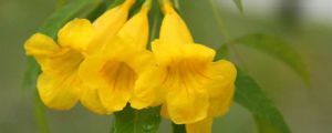 黄钟花的养殖方法和注意事项