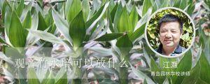 观音竹水培可以放什么