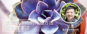 紫珍珠多肉的养殖方法和注意事项