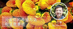 元宝花的养殖方法和注意事项